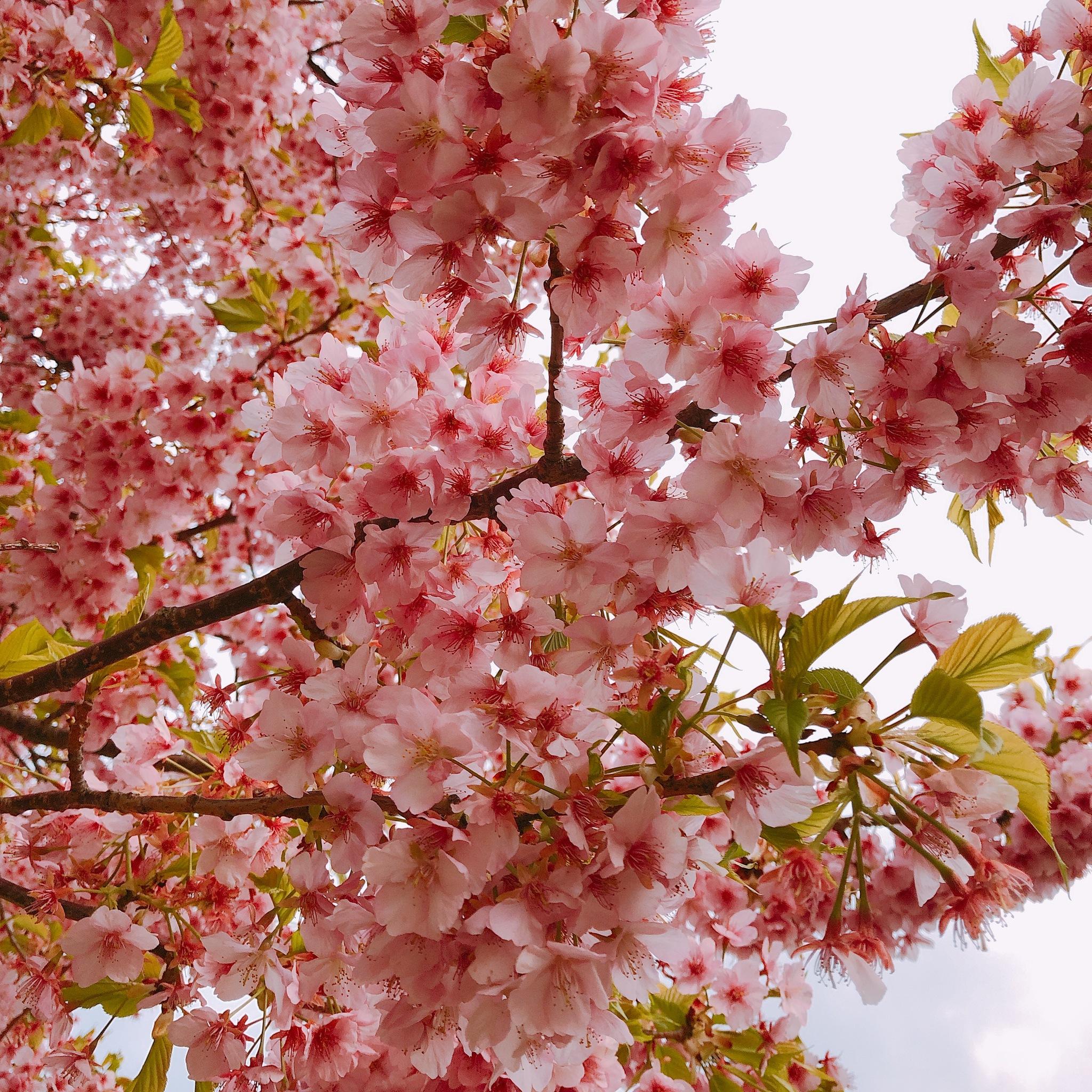 桜咲 飛鳥